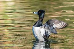 Ring-necked Duck (m) (Bob Gunderson) Tags: aythyacollaris birds california divingducks ducks goldengatepark northerncalifornia pochardsaythya ringneckedduck sanfrancisco stowlake