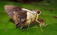 Thracides phidon (hippobosca) Tags: insect lepidoptera butterfly hesperiidae skipper ecuador macro thracidesphidon