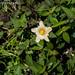 2012-08-05 TEC-002 Sida rhombifolia - E. P. Mallory-4
