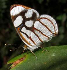 Dynamine ines (hippobosca) Tags: insect lepidoptera butterfly nymphalidae ecuador macro dynamineines