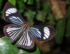 Thisbe hyalina (hippobosca) Tags: insect lepidoptera butterfly riodinidae macro metalmark ecuador thisbehyalina