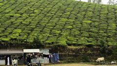 Plantation de thé (richard.hebert68) Tags: sony 24240mm inde