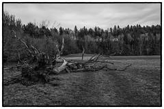 In Memoriam (suzanne~) Tags: storm tree dead sabine felled leutstettenerstr