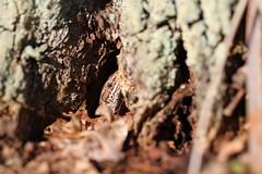 Common Lizard. (ChristianMoss) Tags: common lizard zootoca vivipara reptile eppingforest