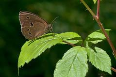 Sortijitas (ajmtster) Tags: macro macrofotografía insecto insectos invertebrados mariposas mariposa lepidopteros nymphalidae ninfalidos aphantopushyperantus sortijitas amt butterfly butterflies reverso papillon farfalle