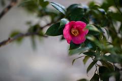 Camellia japonica (Jim Mayes) Tags: canon eos digital 85mm ef ef85mmf12lusm 大阪市立長居植物園