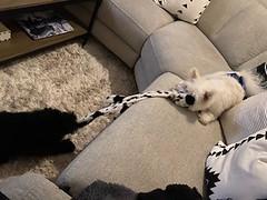 Winston & Teddy plyaing tug
