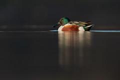 Shoveler (grahamm2143) Tags: shoveler anas clypeata bird nature wildlife water colour canon telephoto uk
