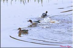Du rififi chez les Sarcelles d'hiver (Ezzo33) Tags: france gironde nouvelleaquitaine bordeaux ezzo33 nammour ezzat nikon d500 parc jardin oiseau oiseaux bird birds réserve canard canards sarcelledhiver anascrecca