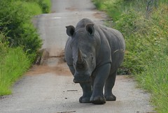 What are you doing on my road? (Englepip) Tags: white rhinoceros southafrica animal