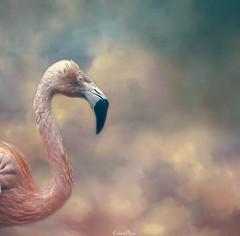 Be a Flamingo in a flock of Pigeons.  Savannah Larsen (Lorrainemorris) Tags: light sonyilce earth surreal lightroom digitalart topaz texture photoshop birdportrait sony creativephotography wildlife dublin sea land pink clouds lorrainemorris photography nature zeiss sony7rm2 fineart bird flamingo