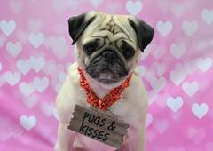 Happy Valentine's Day! (DaPuglet) Tags: pug pugs dog dogs animal animals pet pets carlin chien valentine valentinesday heart hearts love cute pugsandkisses kiss kisses saintvalentin heureusestvalentin stvalentin bisous amour cœur coth coth5
