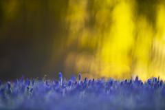 Warm versus cold. (look to see) Tags: kleur color vorst nachtvorst zonsopkomst sunrise mood stemming emotie emotions blauw geel kontrast contrast bokeh bokehlicious arboretum bokrijk limburg belgië belgium canonefl300mmf2mk2 2020 winter