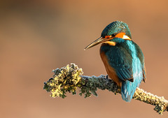 Early morning kingfisher (waynehavenhand1) Tags: wildlife naturesfinest nature male bird frosty morning alcedo atthis kingfisher