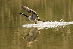 Splash down (wightbern) Tags: canadagoose rspb wildlife nature yarmouthestuary isleofwight nikonnaturephotography nikon d500 nikon80400mm birds