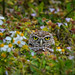 A Burrowing owl in his nest among the daisies, Cape Coral, Southwest Florida