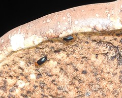 Tetratoma fungorum tetratomida (BSCG (Badenoch and Strathspey Conservation Group)) Tags: insect beetle coleoptera fungus birch betula night february bracketfungus tetratomidae tetratoma torchlight flash acm
