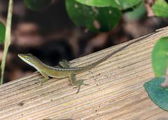 Green Anole (StrangeCharmDesign) Tags: lizard reptile anole greenanole anoliscarolinensis carolinaanole nature wildlife outdoors hiking arboretum crosbyarboretum mississippi picayune