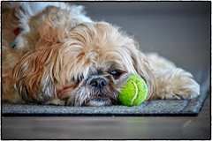 Go ahead...try to steal my ball ! (peterrath) Tags: dog animal pet shihtzu ball color dof depthoffield eye eyes portrait model canon eos 5dsr