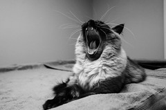 Leo (Zack Huggins) Tags: ricohgrii vscofilm pack06 dallastx cat catto kitty kitten meow yawn roar bw mono monochrome bokeh dof rnifilms mastinlabs himalayan fluffy furry cute teeth teef whiskers fur portrait pointandshoot compact digitalcompact advancedcompact raw wideangle