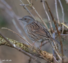 Dunnock (johnthistle) Tags: nikon bird wild d500 nature tree branch avian hertfordshire stockerslake colnevalley