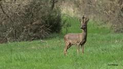 Brocard velours (PYROS Photography) Tags: cervidés chevrette animaux faune sauvage bois vendée 85 brocard