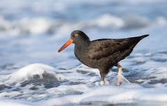 Surf-ing! (markvcr) Tags: oystercatcher shorebird wader nature birding
