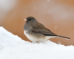 066402052020 (bassgal71/Sarah Rodefeld) Tags: birds oklahoma oklahomawinter wildlife nature outdoors snow sarahrodefeldphotography