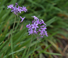 Society Garlic (hyphy2008) Tags: olympus ep5 flora flower societygarlic color purple green canon100mmf35ltm closeup