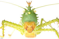 Spiny Devil (Panacanthus cuspidatus) (ggallice) Tags: spinydevil panacanthus panacanthuscuspidatus tettigoniidae katydid insect yasuni yasuninationalpark ecuador amazon amazonrainforest rainforest jungle oriente amazonjungle