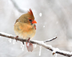 032302052020 (bassgal71/Sarah Rodefeld) Tags: birds oklahoma oklahomawinter wildlife nature outdoors snow sarahrodefeldphotography