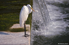 Airone bianco maggiore _017 (Rolando CRINITI) Tags: aironebiancomaggiore airone uccelli uccello birds ornitologia avifauna torrentepolcevera genova natura
