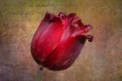 Red (*Millie* (On and Off)) Tags: red flower texture petals celebration awe tabletop valentinesday stvalentine topazstudio2 ef70300mmf456isiiusm canoneosrebelt6i milliecruz tulip