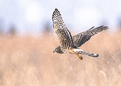 Female Harrier hunting in the snow (Thomas Muir) Tags: circuscyaneus midwest winter raptor ohio woodcounty bowlinggreen northamerica northernharrier flying bird birdwatching prey nikon d850 600mm field prairie wildlife nature animal outdoor