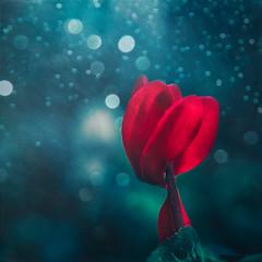 Winter garden (Ro Cafe) Tags: garden flower cyclamen winter red blue selectivefocus bokeh textured pentacon50mmf18 sonya7iii extensiontubes