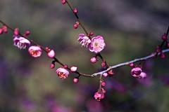 Red Plum (tez-guitar) Tags: plum plumblossom flower bloom blossom spring branch sagamihara leica leicacl voigtlander