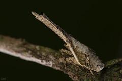 Lantern bug (ggallice) Tags: lanternbug fulgoridae fulgoridhopper hopper hemiptera insect yasuni yasuninationalpark ecuador amazon amazonrainforest rainforest jungle oriente amazonjungle
