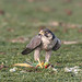 A Peregrine Falcon - Starting its Parrot Breakfast