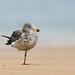 Pacific Gull (Larus pacificus) immature