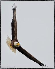 Banking Eagle (RKop) Tags: circlebpreserve florida raphaelkopanphotography d500 nikon 600mmf4evr baldeagle