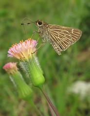 Vehilius stictomenes (Over 6 million views!) Tags: butterfly ecuador hesperiidae vehiliusstictomenes insect butterflies