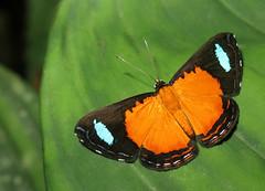 Argyrogrammana bonita (Over 6 million views!) Tags: argyrogrammanabonita butterfly ecuador riodinidae insect butterflies