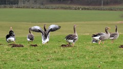 Greylag Geese (moniquerebanks) Tags: greylaggees waterfowl ganzen wildlife birds watervogels anatidae vogels