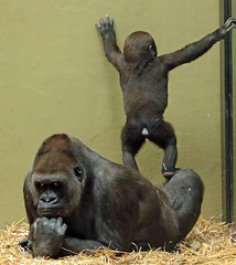 western loelandgorilla Dafina and Damsi artis BB2A0581 (j.a.kok) Tags: animal artis africa afrika aap ape mammal monkey mensaap motherandchild moederenkind zoogdier dier gorilla westelijkelaaglandgorilla westernlowlandgorilla lowlandgorilla laaglandgorilla primate primaat damsi dafina