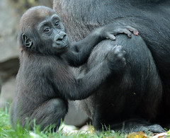 western loelandgorilla Damsi artis BB2A0956 (j.a.kok) Tags: animal artis africa afrika aap ape mammal monkey mensaap motherandchild moederenkind zoogdier dier gorilla westelijkelaaglandgorilla westernlowlandgorilla lowlandgorilla laaglandgorilla primate primaat damsi dafina