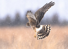 Female Northern Harrier hunting voles in the snow (Thomas Muir) Tags: circuscyaneus midwest winter raptor ohio woodcounty bowlinggreen northamerica northernharrier flying bird birdwatching prey nikon d850 600mm field prairie wildlife nature animal outdoor