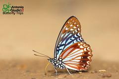 The Circe - นามา (Antonio Giudici Butterfly Trips) Tags: thecirce นามา nymphalidae apaturinae hestinalisnamanama thailand chiangmai chiangdao