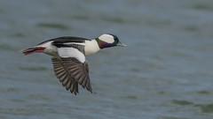Bufflehead  9119 (Paul McGoveran) Tags: bif bird birdinflight bufflehead duck lakeerie nature nikon500mmf4 nikond850 norfolkcounty ontario portdover wings