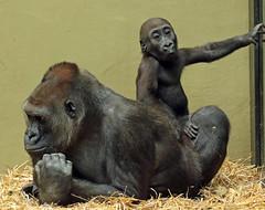 western loelandgorilla Dafina and Damsi artis BB2A0586 (j.a.kok) Tags: animal artis africa afrika aap ape mammal monkey mensaap motherandchild moederenkind zoogdier dier gorilla westelijkelaaglandgorilla westernlowlandgorilla lowlandgorilla laaglandgorilla primate primaat damsi dafina