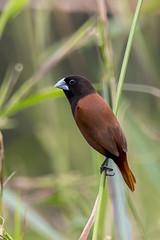 Chestnut Munia © (Rodolfo Quinio) Tags: chestnutmunia nikond500 nikonafs500mmf4gedvr nikontc14eii gitzogt3540ls wimberleywh200 alabangcountryclub muntinlupacity philippines bird passerinebird nature 108